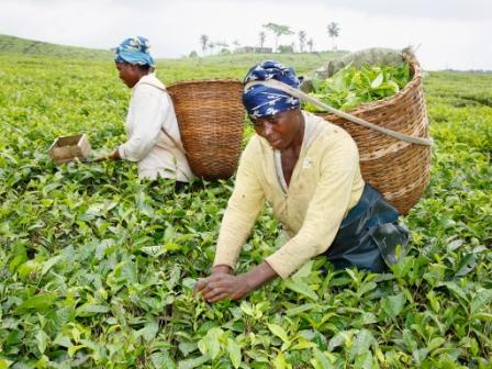 Arbeit auf Teeplantage